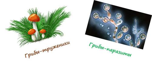Грибы-паразиты и грибы-труженики