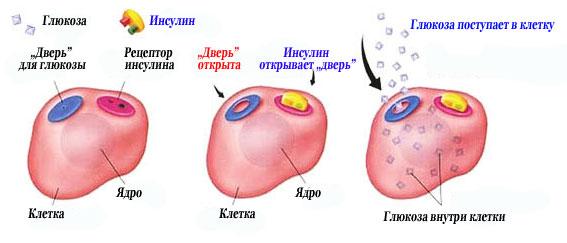 Глюкоза и инсулин
