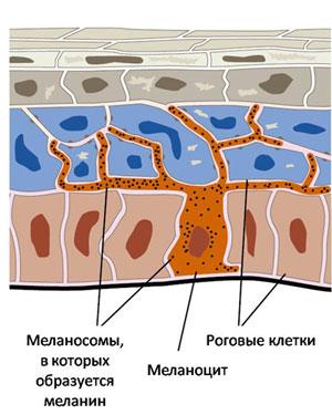 меланоциты