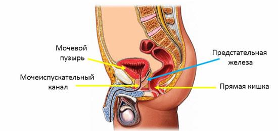 анатомия простаты