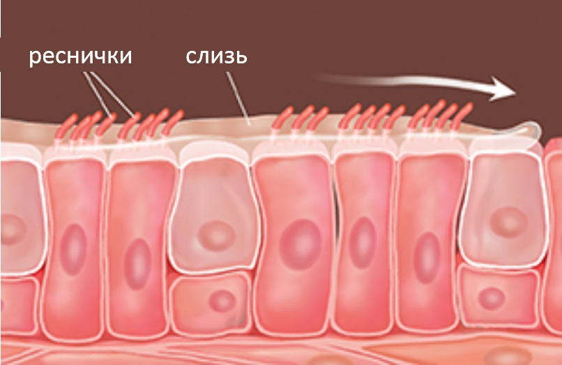 реснички мерцательного эпителия