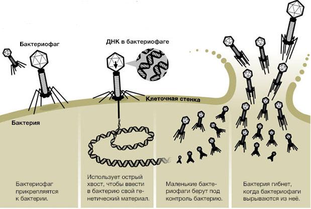 Как бактериофаги работают?