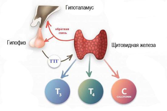 регуляция работы щитовидки