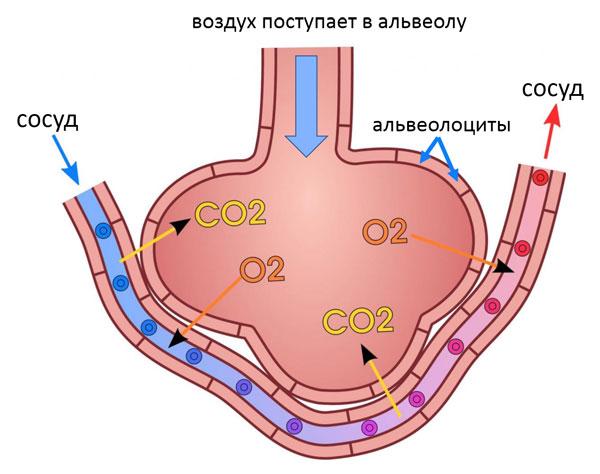 альвеола_1
